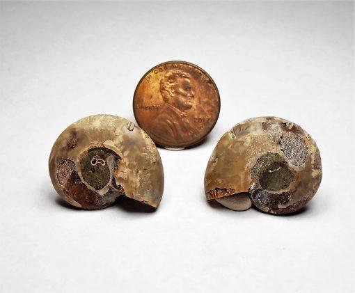 Ammonite Fossil from Madagascar (3) - Jurassic Period