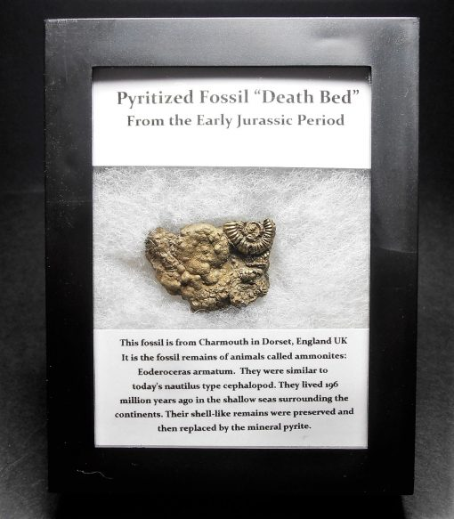 """Pyrite - Early Jurassic Sealife """"Death Bed"""" Fossil - Cased"""