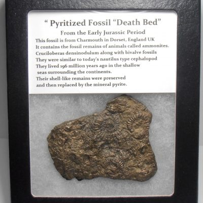 "Pyrite - Early Jurassic Sealife ""Death Bed"" Fossil - Cased"
