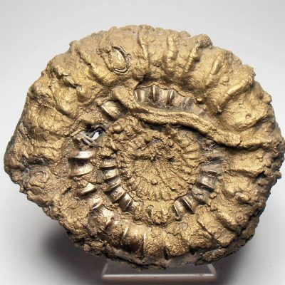 Pyrite - Large 74 mm Pyritized Ammonite from Charmouth