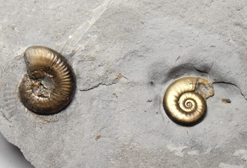 Pyrite - Jurassic Ammonite Fossils on Shale from Le Clapier